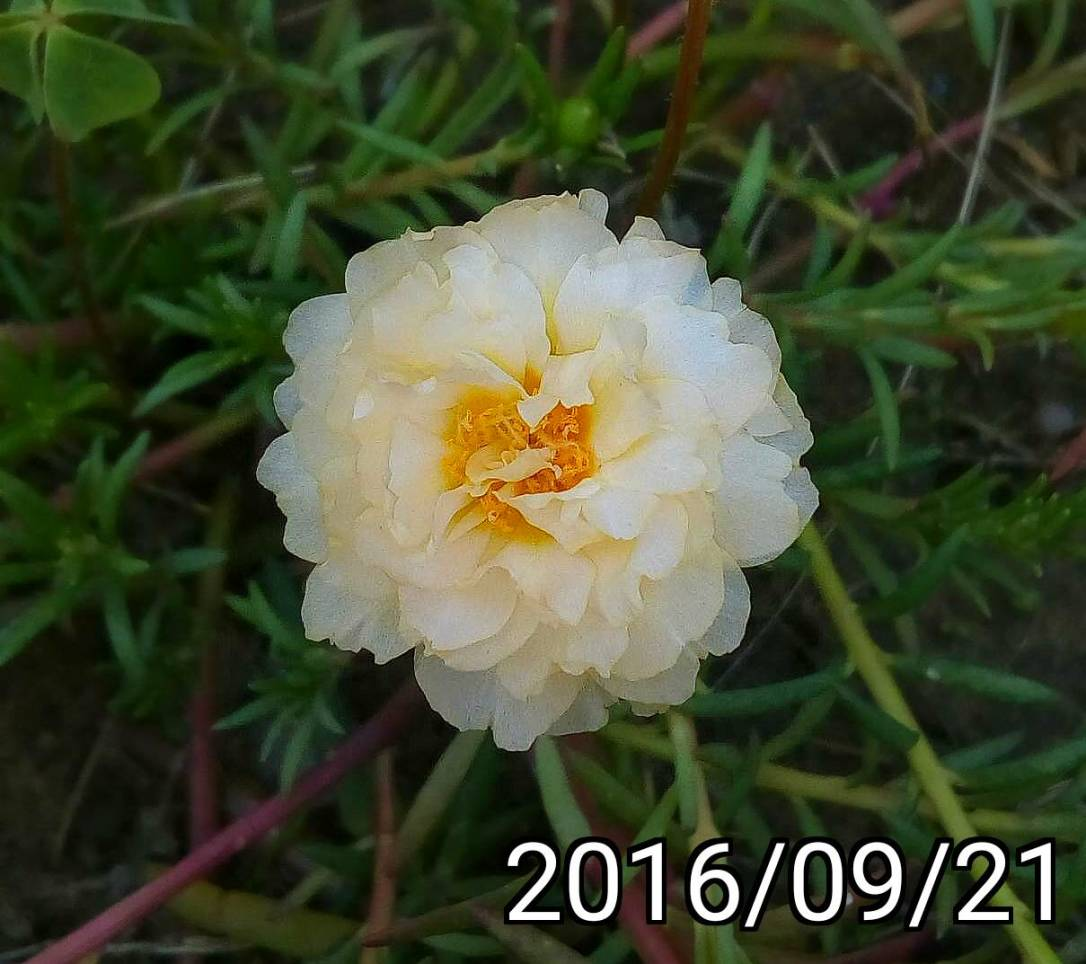 淡橘色複瓣松葉牡丹 light orange multi-petalled Portulaca pilosa, kiss-me-quick, hairy pigweed